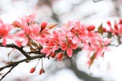 Krämig rosa sakura inflorescence Fotografering för Bildbyråer