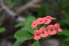 Krämiga rosa Euphorbiablommor royaltyfria foton