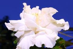 Krämigt - vit hibiskus eller gumamelablomma Royaltyfri Fotografi