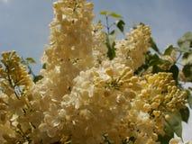 Krämigt - vit lila makro Royaltyfria Bilder