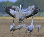 Kräne, die auf dem Gebiet tanzen Der allgemeine Kran, Grus Grus, eurasischer Kran Lizenzfreie Stockbilder