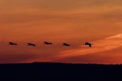 Kräne, die an der Dämmerung fliegen Lizenzfreie Stockbilder