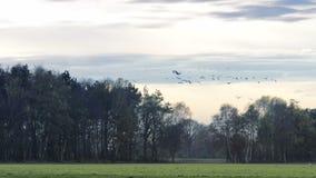 Kräne, die in einen Sonnenuntergang fliegen stock video