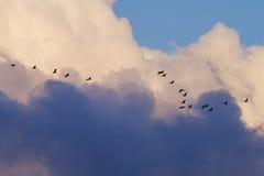 Kräne, die Grau unter den dunklen Wolken abwandern lizenzfreie stockbilder