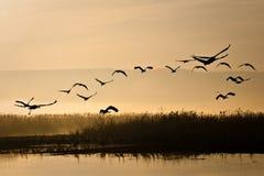 Kräne, die am Sonnenaufgang fliegen stockfoto
