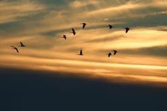 Kräne, die in Sonnenuntergangwolken fliegen Stockfotos