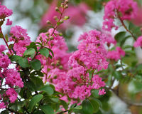 Kräpp Myrtle Flowers Bright Pink Arkivbild