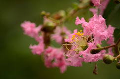 Kräppmyrten blommar närbild Royaltyfria Bilder
