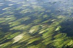 Kräuter, die unter Wasser in einen Fluss schwimmen lizenzfreie stockfotos