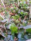 Kräuter im Garten stockfoto