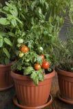 Kräutergarten mit Cherry Tomatoes, eingemacht Stockfotografie