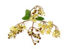 Kräuterhennastrauchblume, Frucht mit Blättern Stockfotografie