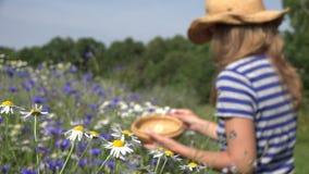 Kräuterkennerfrauen-Auswahlgänseblümchen blüht zwischen Kornblume auf dem Sommergebiet 4K stock video