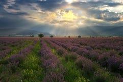 Kräuterlandschaft der aromatischen Anlage Stockfotos