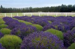 Kräuterlandschaft der aromatischen Anlage Stockbild