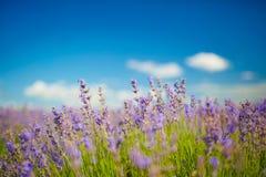 Kräuterlandschaft der aromatischen Anlage stockbilder