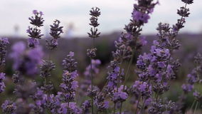Kräuterlandschaft der aromatischen Anlage stock video footage