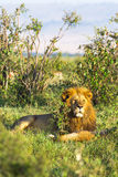król afryce Portret lew Kenja Zdjęcia Royalty Free