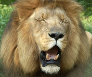 król bestii Fotografia Stock