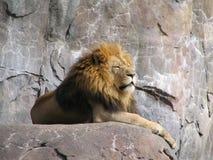 król dżungli Obrazy Royalty Free
