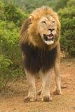 król dżungli Obraz Royalty Free