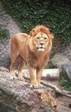 król lew Obraz Royalty Free