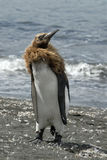 król pingwin