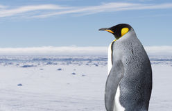 król pingwin Obrazy Royalty Free