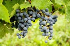 król winogron Fotografia Royalty Free