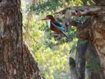 Królewiątka fisher na drzewach obrazy stock