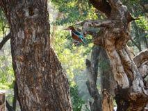 Królewiątka fisher na drzewach obraz royalty free