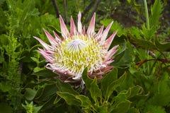 Królewiątka Protea przy słońce setami Obrazy Royalty Free