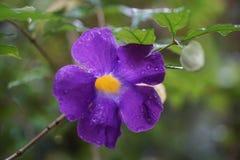 Królewiątka ` s salopy kwiatu deszczu purpurowa żółta kropla Zdjęcie Stock
