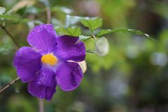 Królewiątka ` s salopy kwiatu deszczu purpurowa żółta kropla Obrazy Stock