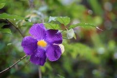 Królewiątka ` s salopy kwiatu deszczu purpurowa żółta kropla Obraz Stock