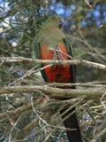 królewiątko żeńska papuga Fotografia Royalty Free