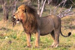Królewiątko bestie jest zawsze na ostrzeżeniu Kenja, Afryka Obrazy Stock