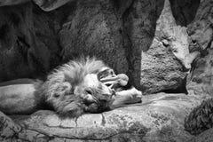 Królewiątko dżungla Zdjęcia Stock
