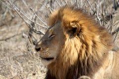 Królewiątko dżungla Obrazy Royalty Free