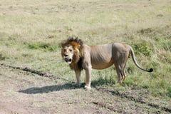Królewiątko dżungla, lew w sawanna obszarze trawiastym Obrazy Stock