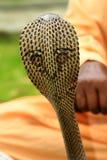 Królewiątko kobra zdjęcia stock