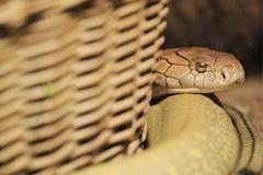 Królewiątko kobra Obraz Royalty Free