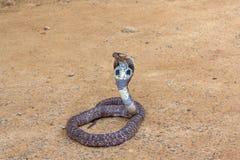 Królewiątko kobry wąż obraz stock