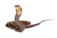 Królewiątko kobry wąż Przygotowywający Uderzać obrazy stock