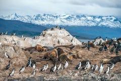 Królewiątko kormoranu kolonia, Beagle kanał Argentyna, Chile, - Obrazy Stock