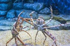 Królewiątko krab obrazy stock