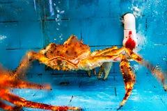 Królewiątko krab w rybim zbiorniku obrazy stock