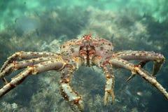 Królewiątko kraba zakończenie up Zdjęcie Royalty Free