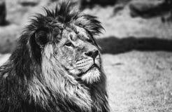 Królewiątko, lwa królewiątko Fotografia Stock