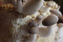Królewiątko ostrygowa pieczarka na pieczarkowym substracie obrazy stock